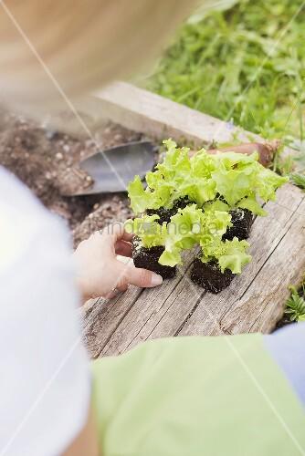 Salatpflanzen einsetzen