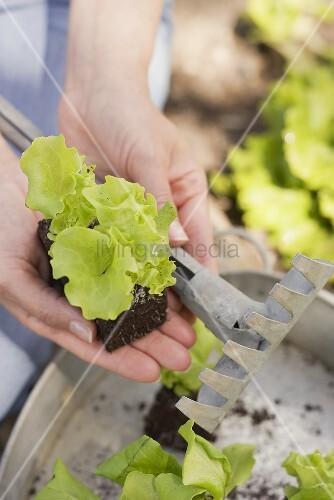 Frau hält Salatpflanzen und Rechen