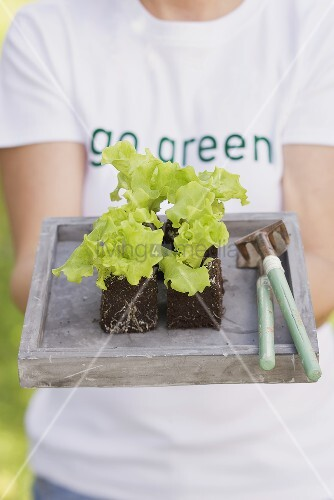 A woman holding a tray of lettuce plants and garden tools