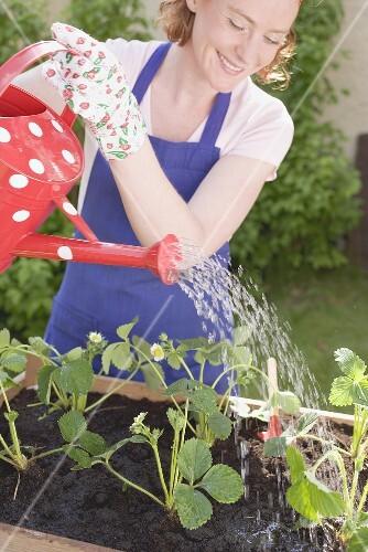 Erdbeerpflänzchen gießen