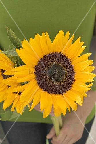 Hände halten Sonnenblumen
