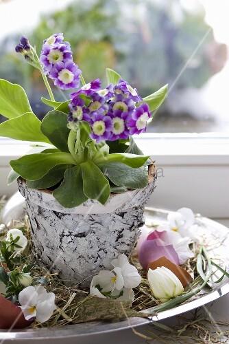 Primula in birch pot, horned violets & coloured eggshells