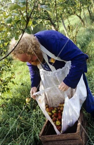 Frisch geerntete Äpfel in eine Holzkiste umfüllen