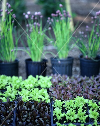 Various lettuce plants in plastic containers; chives