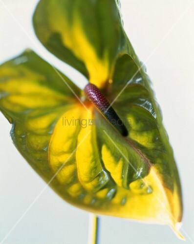 Green Anthurium flower (close-up)
