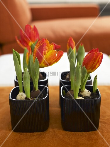 Red tulips in a black plant pots